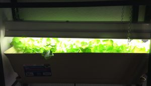Indoor lettuce garden under grow lights