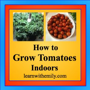 how to grow tomatoes indoors, learn with emily dot com